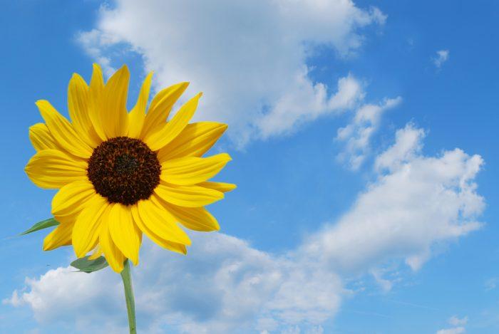 Kuvassa on auringonkukka.