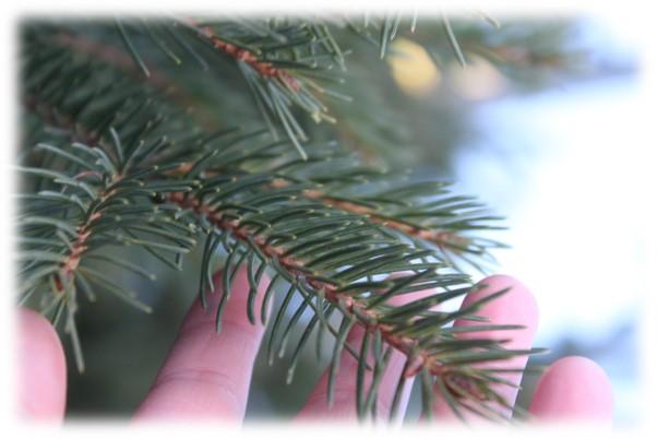 Nuoren käsi koskettaa kuusipuun oksaa.